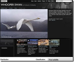 BBC - Wildlife Finder - Whooper swan facts, pictures & stunning videos